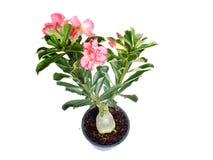 花桃红色adenium沙漠在被隔绝的白色背景上升了 免版税库存图片