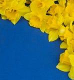 水仙花框架在蓝色背景的 免版税库存照片