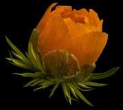 花桔子报春花 春天花的芽 隔绝在与裁减路线的黑背景 没有影子 侧视图 特写镜头 图库摄影