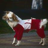 花梢加工好的狗 免版税库存图片