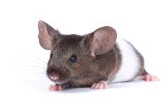 花梢小的鼠标 图库摄影