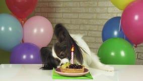 花梢狗吃与蜡烛股票英尺长度录影的Papillon生日蛋糕 股票视频