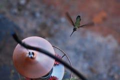 花梢蜂鸟 免版税图库摄影