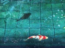 花梢鲤鱼或日本小井鱼游泳在池塘 库存图片