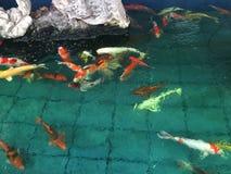 花梢鲤鱼或日本小井鱼游泳在池塘 免版税库存照片