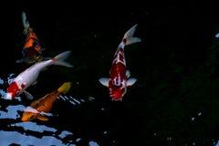 花梢鲤鱼或koi鱼游泳在池塘 库存照片