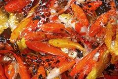 花梢鲤鱼或koi鱼 免版税图库摄影