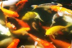 花梢鲤鱼鱼 库存图片
