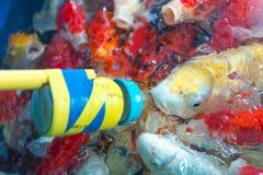 花梢鲤鱼 许多日本鱼或五颜六色Koi鱼类饲食学在t 免版税库存图片