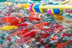 花梢鲤鱼 许多日本鱼或五颜六色Koi鱼类饲食学 库存图片