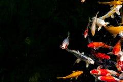花梢鲤鱼 库存图片