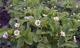 花植物自然绿色植物学瓣狂放的宏观特写镜头开花的农业绽放植物群白色庭院瓣夏天水离开 库存图片