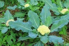 花椰菜在耕种农场 库存图片