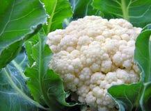 花椰菜庭院蔬菜 免版税库存照片