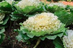 花椰菜 图库摄影