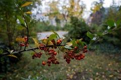 花楸浆果分支 图库摄影