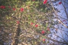 花楸浆果在冬天森林 免版税库存照片