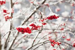 花楸浆果在冬天 免版税库存图片