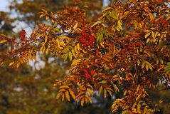 花楸浆果在晚秋天 库存图片