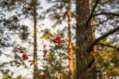 花楸浆果在阳光下1 免版税图库摄影