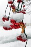 花楸浆果早午餐在雪下的 库存图片