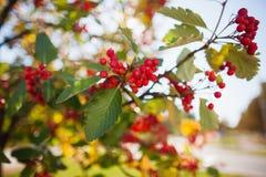 花楸浆果树在蓝天自然本底的秋天 季节性照片 秋天背景户外小山本质风景顶部结构树二 免版税库存照片