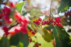 花楸浆果树在蓝天自然本底的秋天 季节性照片 秋天背景户外小山本质风景顶部结构树二 库存照片