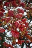 花楸浆果特写镜头在雪的有软的被弄脏的背景 免版税库存图片