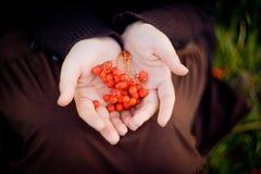 花楸浆果,秋天礼物  免版税库存图片