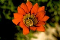 花橙色通配 库存照片