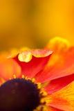 花橙色阳光通知 免版税图库摄影