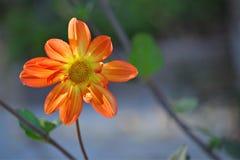 花橙黄色 库存照片