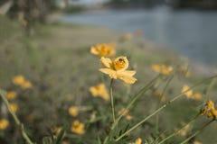 花波斯菊花和蜂 免版税库存图片
