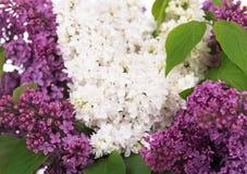 花淡紫色紫色 库存图片