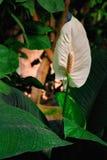 花深绿背景的安祖花植物 花束的白色火鸟小花,花的布置 垂直的照片 库存照片