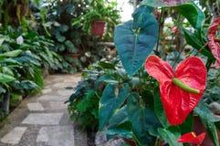 花温室背景的安祖花植物  花束的红色火鸟小花,理想对花的布置 免版税库存照片