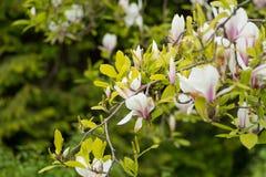 花灌木木兰白色瓣 免版税图库摄影