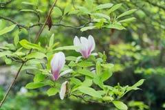 花灌木木兰白色瓣 免版税库存照片