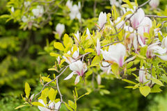 花灌木木兰白色瓣 免版税库存图片