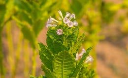花烟草植物 库存图片