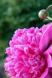 花牡丹明亮的桃红色 免版税库存图片
