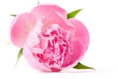 花牡丹粉红色 免版税库存图片