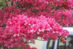 花牡丹粉红色 免版税图库摄影