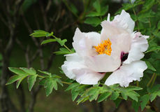 花牡丹结构树 免版税图库摄影