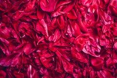 花牡丹背景 桃红色瓣纹理 蝴蝶下落花卉花重点模式黄色 免版税库存图片