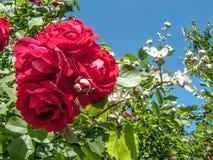 花玫瑰和黑莓反对天空 库存图片