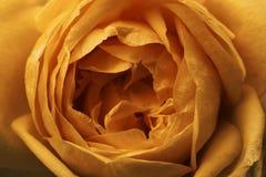 花玫瑰桔子 宏指令 在视图之上 背景细部图花卉向量 免版税库存照片