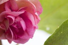 花玫瑰色室宏指令 免版税图库摄影