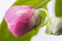 花玫瑰色室宏指令 免版税库存照片