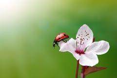 花瓢虫 库存照片